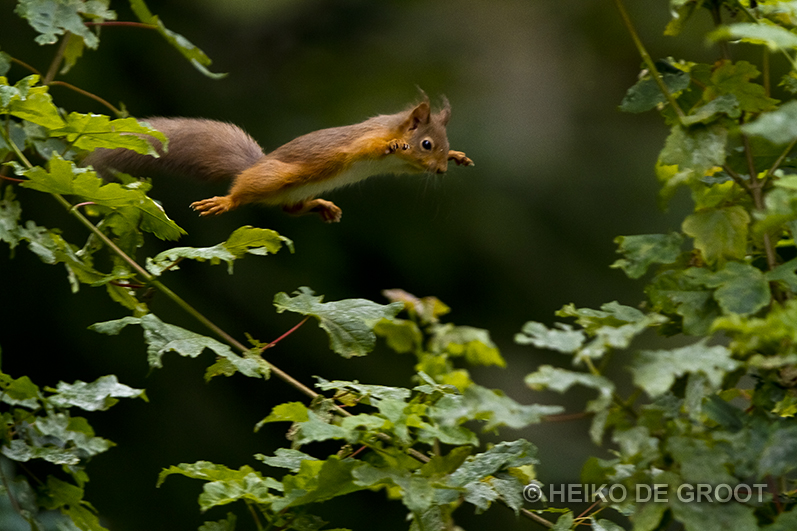 Red squirrel at The Birches. Photo courtesy of www.wildwunder.com