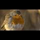 Rostrot Robin